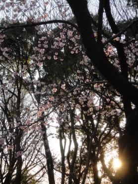 Sakura's blossoms