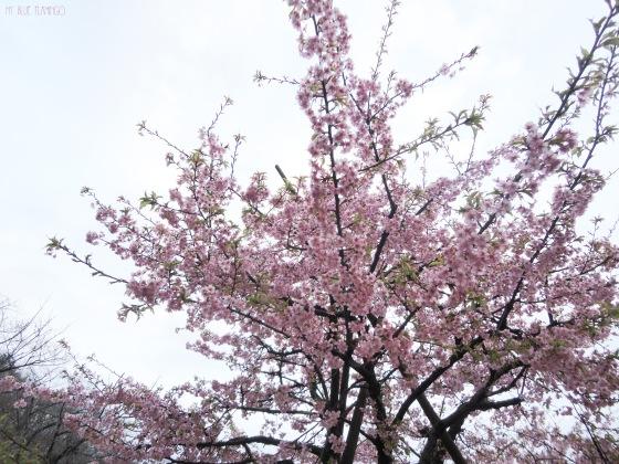 Sakura2_mbf
