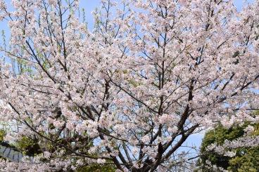 Sakura5_mbf