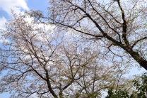 Sakura7_mbf