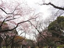 sakura at Ueno park