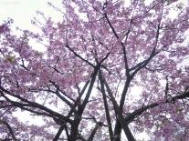 sakura at Yoyogi park