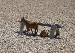 Goats and rocks