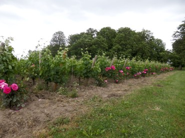 Planting a rose at the beginning of each series protects the grapes and adds to the beauty of the field