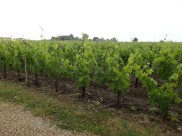 Chateau's Corbin vineyard
