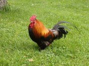 rooster at the park...just because he can